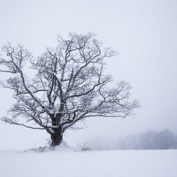 033-As-eika-i-vinterkulde